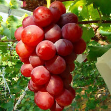 Rose Red Round Grape Seeds Advanced Fruit Seed Natural Growth Grape Delicious