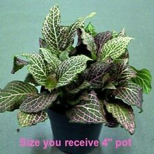 "Red Veined Nerve Plant Fittonia Easy Live HousePlant 4""Pot Houseplant Indoor"