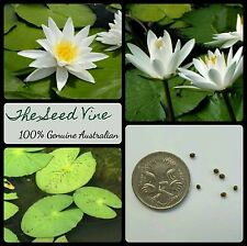 10+ WHITE WATER LILY SEEDS (Nymphaea pubescens 'White') Aquatic Flower Spring
