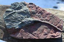 More details for * scyphocrinities elegans * fossil sea lilly * 400 million yrs old * uk seller *