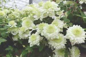 CLEMATIS MANJU NEW DOUBLE CREAMY WHITE FLOWERS  UNUSUAL GARDEN CLIMBER