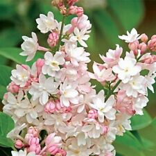 25 Light Pink Lilac Seeds Tree Fragrant Hardy Perennial Flower 374 Us Seller