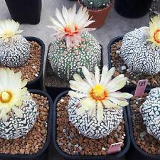 10 SEEDS Cactus Astrophytum V x V