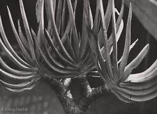 1928 Vintage Albert Renger-Patzsch Aloe Plant Botanical Objectivity Photo Art
