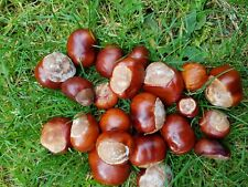 More details for 50 conkers  horse chestnuts  spider repellent!   ready now  free uk p&p