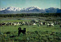 MONGOLEI Mongolische Volksrepublik Postcard MONGOLIA, Aimak, Sheep Dog, Hund AK