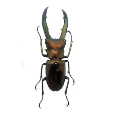 LARGE STAG BEETLE Cyclommatus metallifer finae WEIRD INSECT