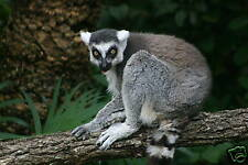 """Fabulous Photograph Of A Ringtailed Lemur Matted 14""""X11"""""""