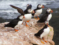 ANIMAL PHOTO NORTH ATLANTIC PUFFINS WALL ART PRINT PICTURE POSTER HP2645