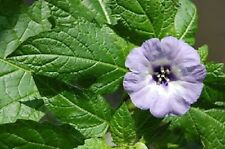 100 APPLE OF PERU Shoofly Plant Nicandra Physalodes Flower Seeds *Comb S/H