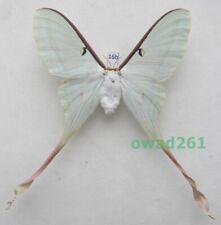 Actias dubernardi (Oberthür, 1897) female ex. ovo China 94mm16b