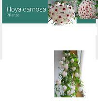 25x HOYA CARNOSA SEME CAMERA PIANTA rarità pianta da camera fresco semi #34