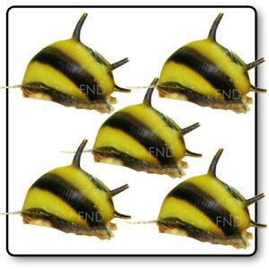 5x ZEBRA THORN NERITE SNAIL CLITHON DIADEMA ALGAE EATER AQUARIUM FISH PLANT