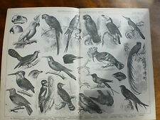 1874 Incisione Ornitologia-Arrampicata & Per Volatili Pappagallo Ara goatsucker