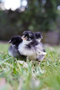 Australorp Chicken Fertile Eggs
