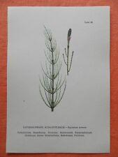 Acker-SCATOLA stelo (Equiseto arvense) Heil pianta stampa a colori 1956