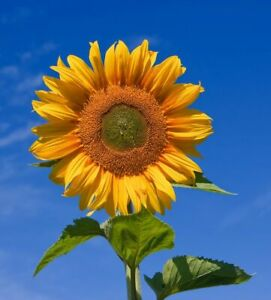 6x Common sunflower Plug Plants Helianthus Vegetables (No Seed) - Ready Now
