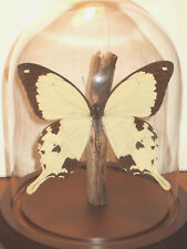 Papilio dardanus Butterfly Dome