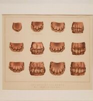 1898 Antique TEETH Print AGES of the HORSE Mounted Original Victorian Art + INFO