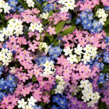 Vergissmeinnicht Blume Pflanze 600 Samen Nr.323