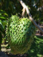 GUANABANA  annona muricata ENORME  FRUTA  6 semillas seeds