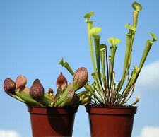 2 x North American PITCHER live CARNIVOROUS PLANTS:Sarracenia psittacina & flava