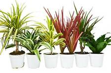 """6 Different Dracaenas Variety Pack - Live House Plant - FREE Care Guide - 4"""" Pot"""