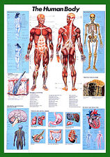 THE HUMAN BODY Anatomy HUGE Wall Chart POSTER for Lab, Fitness, Medical, Class