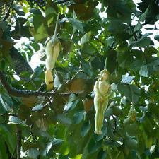 10x Weiblich Ginseng Health Fruit Aubergine Pepino Samen Baum Kreative Pflanzen