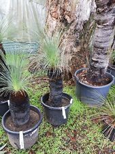 FAON - Grass tree, Native Xanthorrhoea Johnsonii 55cm trunk.