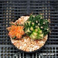 2 x Gymnocalycium * Very Nice & Save * seed grow / Rare cactus
