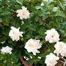 eine wunderschöne Zimmer-Kletter-Pflanze: die tolle Gardenie !
