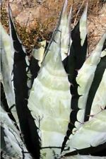 Agave Sub-tropical Cactus & Succulent Plants