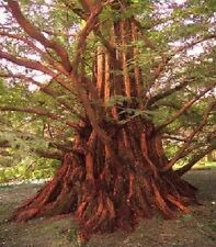Sensation : Winterharter Urwelt-Mammutbaum / galt lange als ausgestorben ! Samen