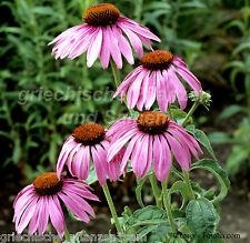 Echinacea Pupurea Seedlings Medicinal plant Purple coneflower pink