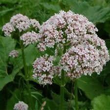 Valerian (Officinalis)- 100 Seeds