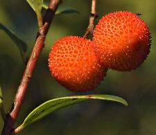 Tolle essbare Früchte: Erdbeerbaum, 25 Samen Arbutus unedo, Westlicher, winterh.