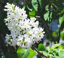 JAPANESE LILAC - 30 seeds - Syringa amurensis