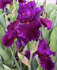 1 Hot Pink Bearded Irises rhizomes iris bulbs, flowering bulb plants Summer Sale