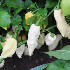 30PCS Rare White Ghost Reaper Chilli Pepper Vegetable Seeds Garden Decor New