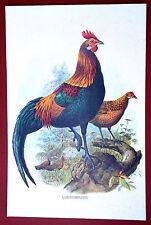 RED JUNGLE FOWL (Gallus ferrugineus)  - 1970's original offset print