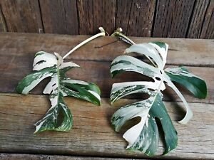 Two Albo Variegated Monstera Deliciosa Cuttings - Rooted Cuttings