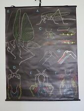 VINTAGE DR AUZOUX & P SOUGY PULL ROLL DOWN SCHOOL CHART OF A GRASSHOPPER FRENCH