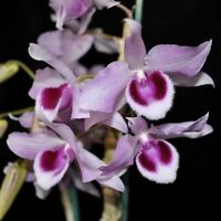 Dendrobium Little Sweet Scent orchid seedling, 2.25-inch pot