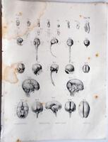 1844 incisione Litho-Anatomia-Anatomie Bourgery Paris-Nerveux-Centri Nervosi-10b