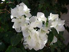 BOUGAINVILLEA BLANC Jamaica White