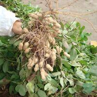 50pcs Erdnuß Erdnuss Samen Hausgarten Seltene Dörrobst Gemüsepflanze Garten