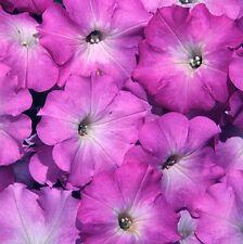 Petunia Seeds Freedom Lilac Halo 50 Pelleted Petunia Seeds