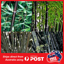 50 x Black Bamboo planting growth  Phyllostachys Nigra plant seeds