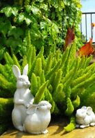 """2 pack Live Plant-Asparagus Meyeri FoxTail Fern  8""""-15"""" Tall 1 gal. Special!!"""